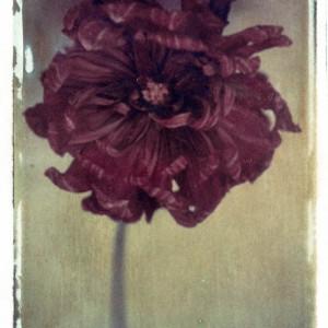 Gothic Summer series: Moray Susan Dahlia