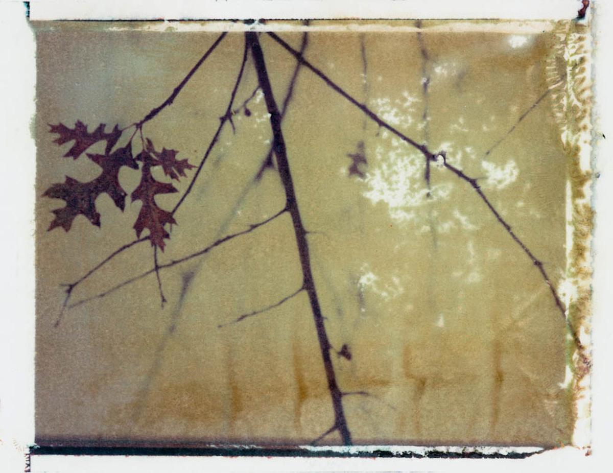 Treelines series: Quercus Texana - Oak