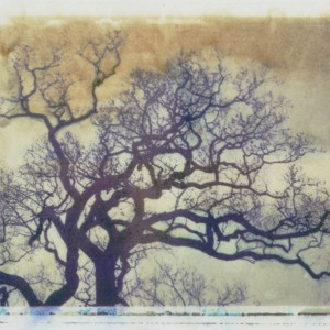 Treelines series: Quercus Robus - English Oak