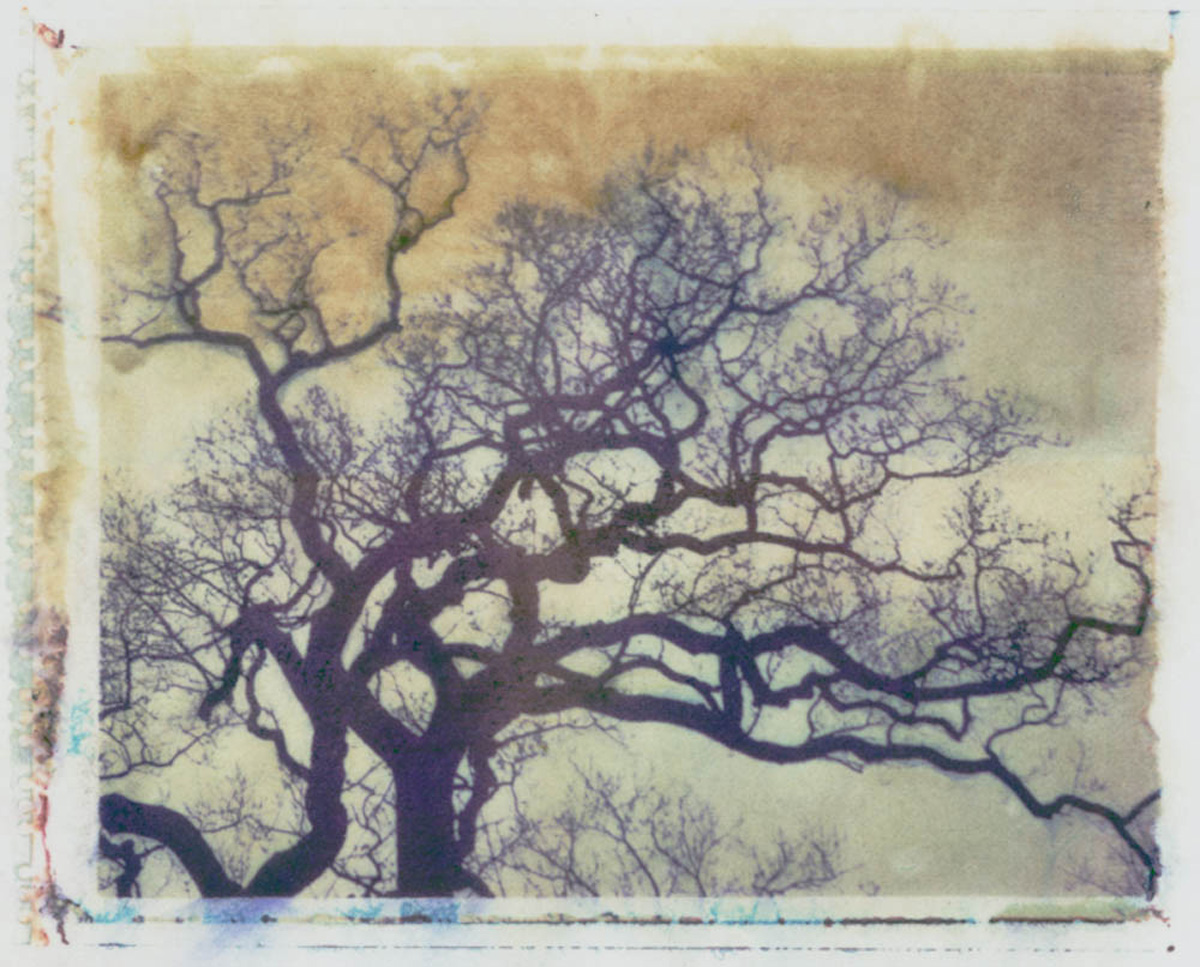 Treelines series: Quercus Robus - English Oak