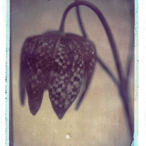 Gothic Summer series: Snakehead Fritillary