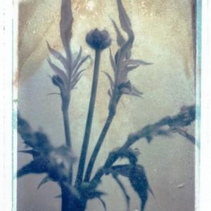Gothic Summer series: Cephalaria Gigantica