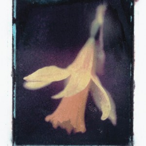 Gothic Summer series: Narcissus Pseudonarcissus - Common Daffodil