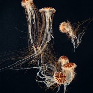 Japanese Sea Nettles II