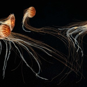 Japanese Sea Nettles I