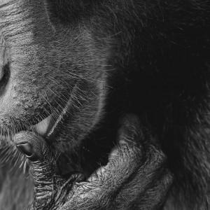 Monkey licking