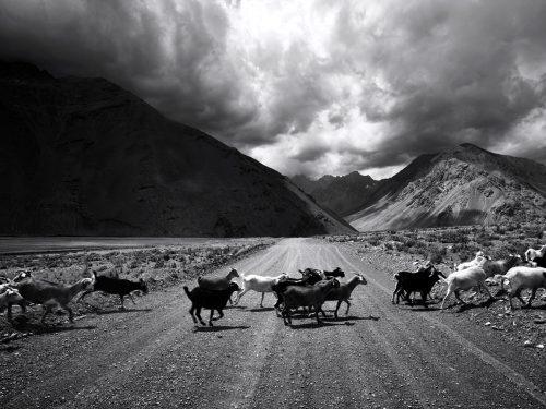 Goats, Chile, 2014