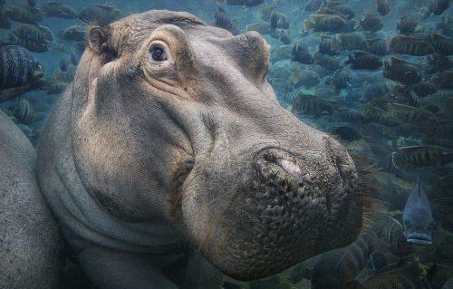 Hippo Underwater
