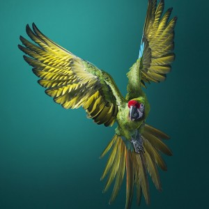 Military Macaw Front On