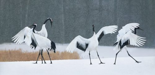 Red Crown Cranes Dancing