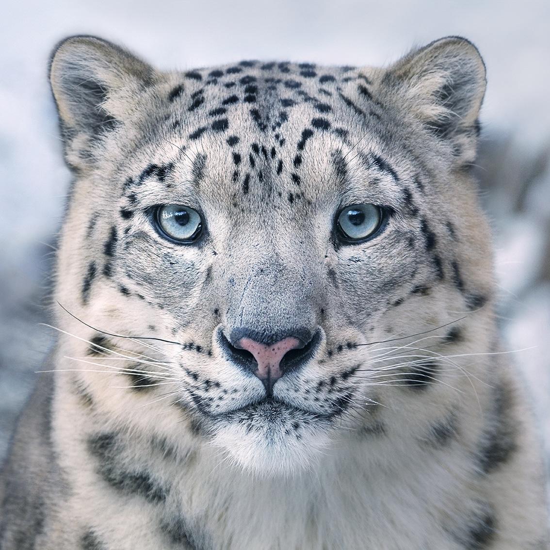 snow leopard online
