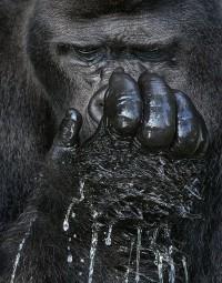 Western Lowland Gorilla Drinking