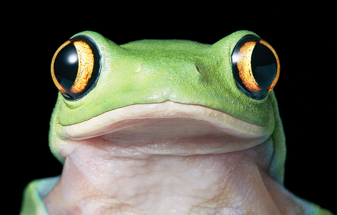 Yellow Eye Tree Frog
